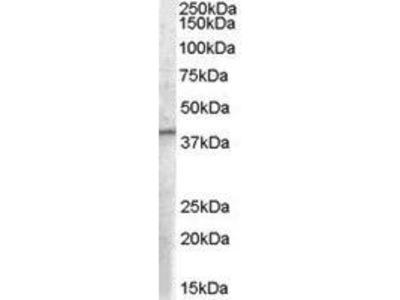 Goat Anti-EIF3M Antibody