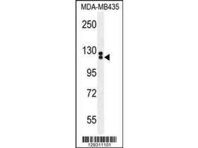 Rabbit Anti-TTLL13, ID Antibody