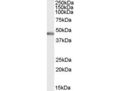 Goat Anti-PTF1A Antibody