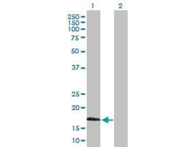 Mouse Anti-MAG Antibody