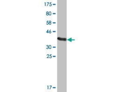 Mouse Anti-TSC22D2 Antibody