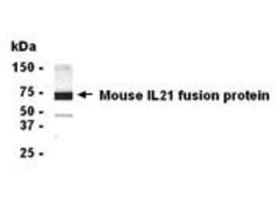Pab Ch x mouse Interleukin 21 (IL-21) antibody