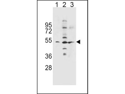 Rabbit Anti-SLC36A1, NT Antibody