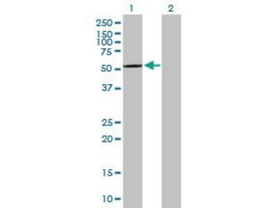 Mouse Anti-CPNE4 Antibody