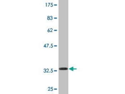 Mouse Anti-KLP1 Antibody