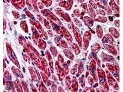 Goat Anti-PIK3C2A Antibody
