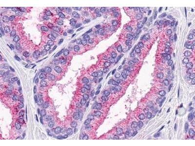 Rabbit Anti-GPR164 Antibody