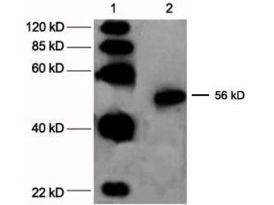Rabbit Anti-Cyp2c23 Antibody