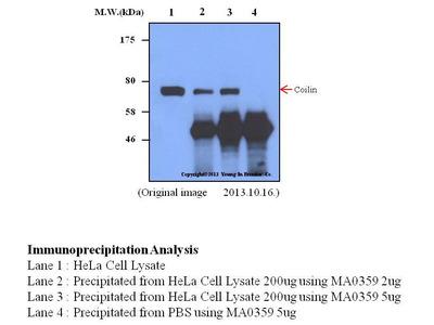 Mab Mo x human Coilin (p80, COIL, CLN80) antibody