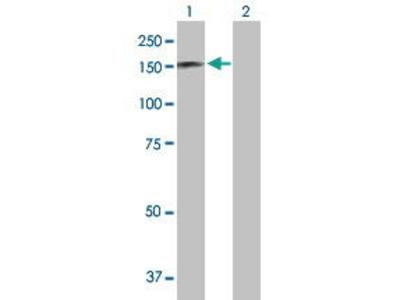 Mouse Anti-RAPGEF1 Antibody