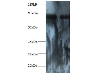 Rabbit Anti-ENSA Antibody (Biotin)