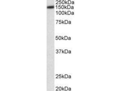Goat Anti-ATP2B1 Antibody