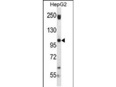 Rabbit Anti-SND1, ID Antibody