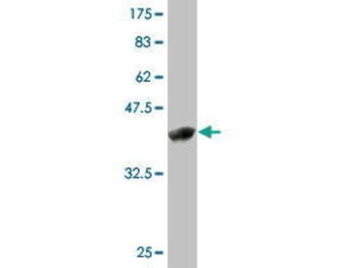 Mouse Anti-ZMAT4 Antibody