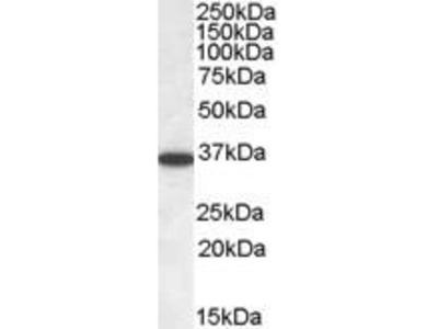 Goat Anti-PPP2CA/PPP2CB Antibody