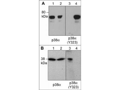 p38α MAP Kinase (Tyr-323), phospho-specific Antibody