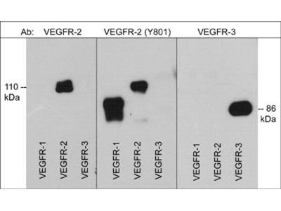 VEGFR-2 (Tyr-801)[conserved site], phospho-specific Antibody