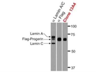 Anti-Progerin Antibody, clone 13A4