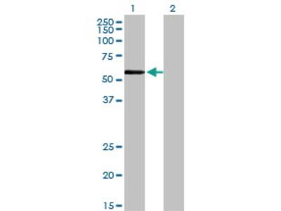 Mouse Anti-ZNF165 Antibody