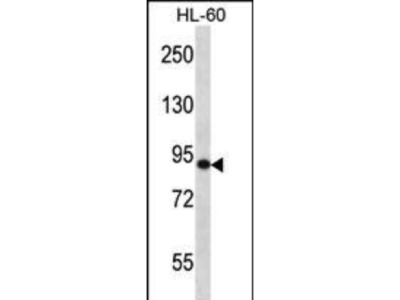 Rabbit Anti-SP140, ID Antibody