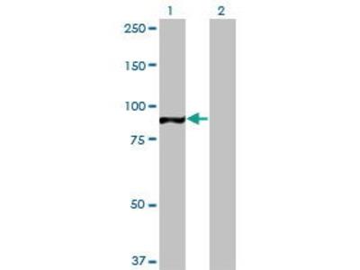 Mouse Anti-TAF1C Antibody
