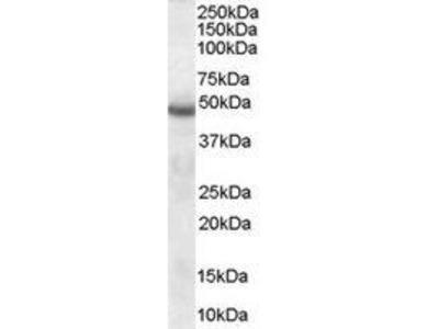 Goat Anti-SERPINI1 Antibody