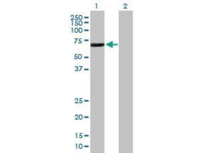 Pab Mo x human ETS2 (Protein C-ets-2) antibody