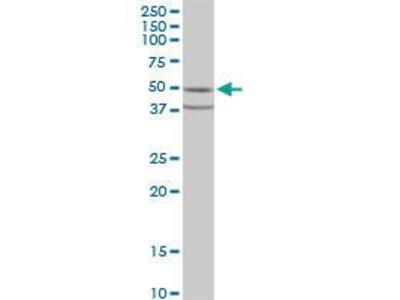 Mouse Anti-FAPP2 Antibody