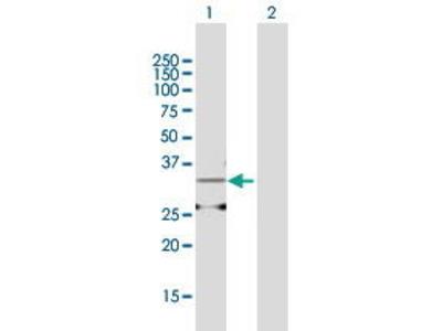 Mouse Anti-AMD1 Antibody