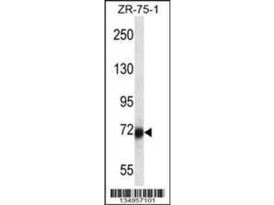 Rabbit Anti-SP100, NT Antibody
