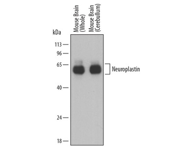 Sheep Anti-NPTN Antibody