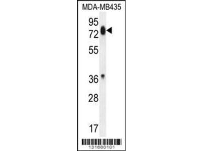Rabbit Anti-PCDHB13, ID Antibody
