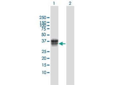 Rabbit Anti-HS3ST1 Antibody