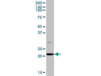 Mouse Anti-PLDN Antibody