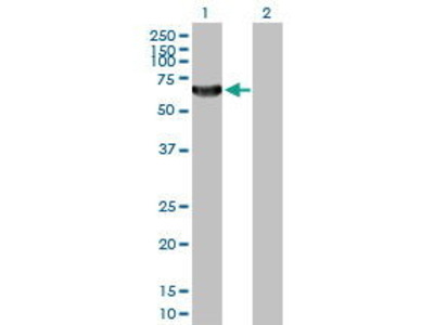 Rabbit Anti-TAF1A Antibody