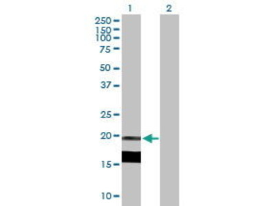 Mouse Anti-Interleukin 7 Antibody