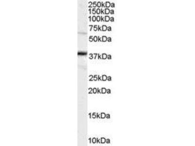 Goat Anti-POU5F1 Antibody