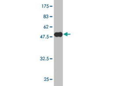 Mouse Anti-AKIRIN2 Antibody