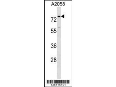 Rabbit Anti-BCAS1, NT Antibody