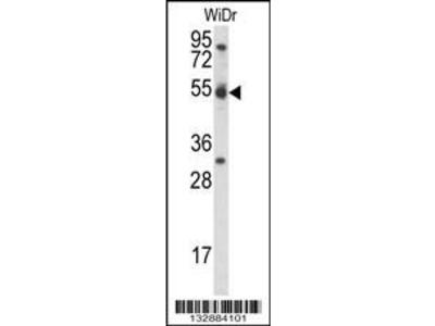 Pab Rb x human CCNI, CT (CCNI, Cyclin-I) antibody