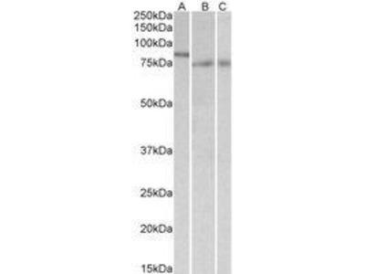 Goat Anti-IRF2BP1, aa461-474 Antibody