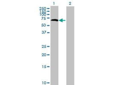 Mouse Anti-RIO Kinase 3 Antibody