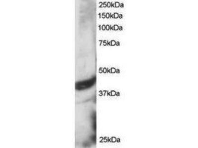 Goat Anti-DAP3 Antibody
