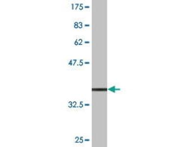 Mouse Anti-TCEAL1 Antibody