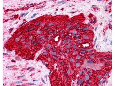 Mouse Anti-Tubulin, alpha Antibody