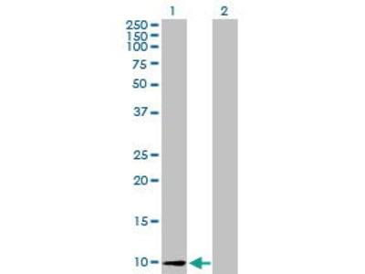 Mouse Anti-CCL26 Antibody