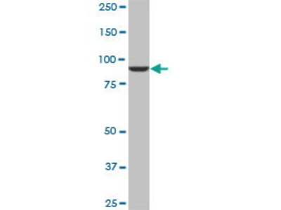 Mouse Anti-DNAJC10 Antibody