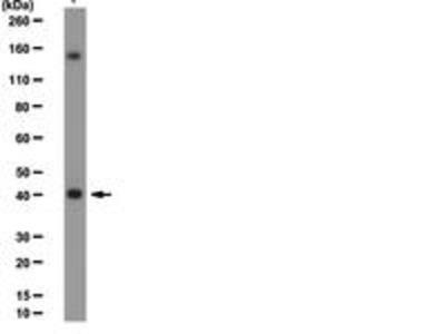 Rabbit Anti-PR Set7 Antibody