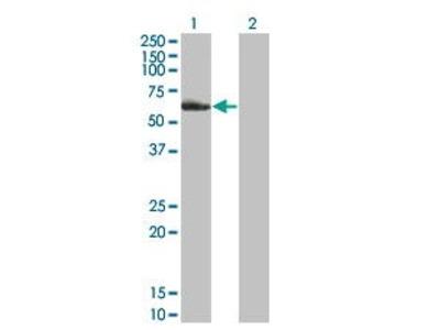 Mouse Anti-Nuclear Receptor Subfamily 2 Group C Member 2 Antibody