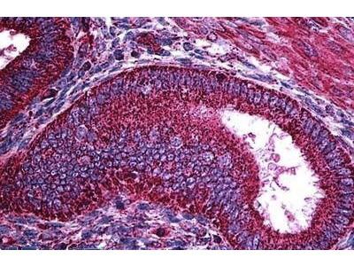 Mouse Anti-TERF1 Antibody